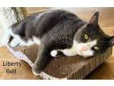 Adopt Liberty Bell a Gray or Blue Domestic Shorthair / Domestic Shorthair /