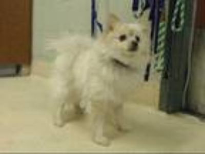 Adopt LULU a White - with Tan, Yellow or Fawn Pomeranian / Mixed dog in Rancho