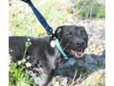 Adopt Hope a Black Labrador Retriever / Whippet / Mixed dog in Hillsboro