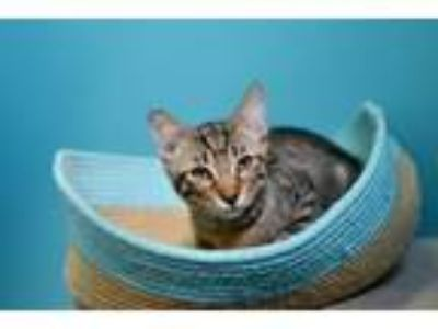 Adopt Leo a Domestic Short Hair, Abyssinian