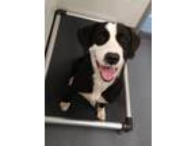 Adopt Mookie a Black - with White Labrador Retriever / Mixed dog in Hilton Head