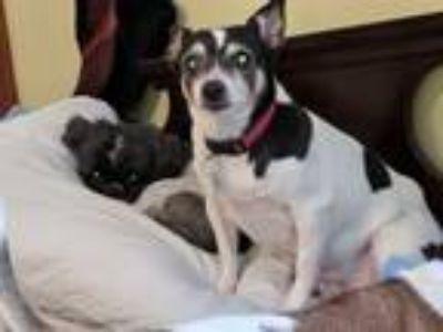 Adopt Little Bit a Rat Terrier, Terrier