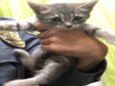 Adopt RAPUNZEL a Gray, Blue or Silver Tabby Domestic Shorthair / Mixed (short