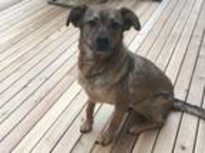 Adopt Luke a Brown/Chocolate - with Tan German Shepherd Dog / Labrador Retriever