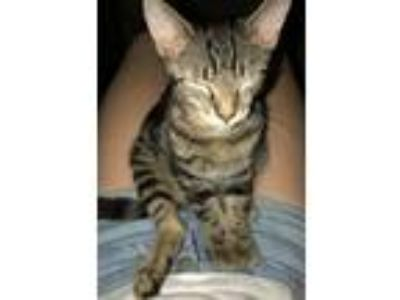 Adopt Kuluha a Tiger Striped Bengal / Mixed cat in Brockport, NY (23988386)