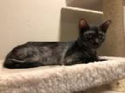 Adopt Brittany a All Black Domestic Shorthair / Mixed (short coat) cat in