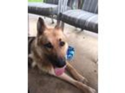 Adopt Zeus a Black - with Tan, Yellow or Fawn German Shepherd Dog dog in