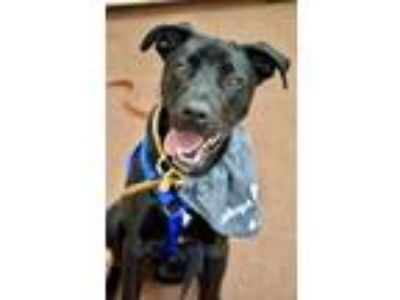 Adopt Harley a Black Labrador Retriever / Mixed dog in Greenbelt, MD (25905559)