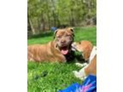 Adopt Cherish a Pit Bull Terrier / Shar Pei dog in Norristown, PA (24762786)