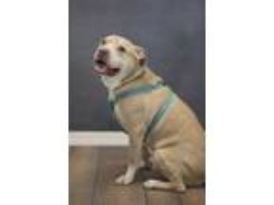 Adopt Butchie a Tan/Yellow/Fawn American Pit Bull Terrier / Mixed dog in