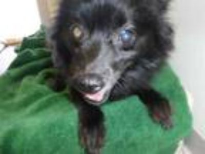 Adopt KASHMIRE a Black Pomeranian / Mixed dog in Sanford, FL (25171714)