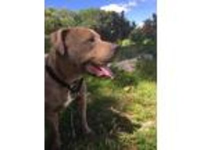 Adopt Titan - Foster or Adopter Needed! a Pit Bull Terrier, Mastiff