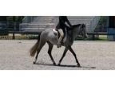 Fancy kidfriendly Elite Earl Grey medium Welsh pony