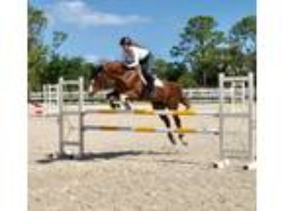 Warmblood MareMust See