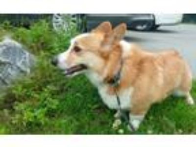 Adopt Toby available 6/21/19 a Cardigan Welsh Corgi