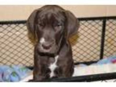 Adopt Heath a Brown/Chocolate Great Dane / Mixed dog in Albany, OR (25888413)
