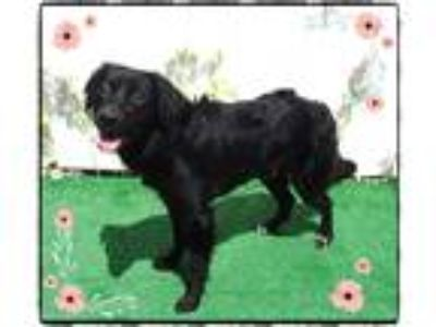 Adopt BLACKIE a Brindle - with White Flat-Coated Retriever / Mixed dog in