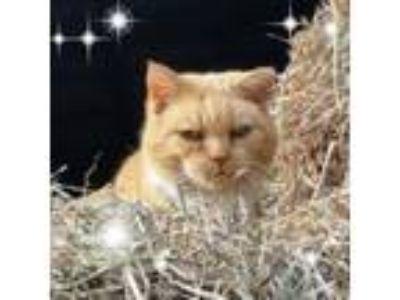 Adopt Barn Cats a Domestic Short Hair, Tabby