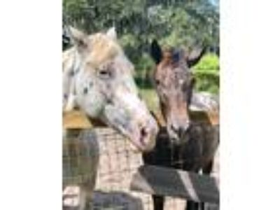 2018 bay Appaloosa filly with white frosting