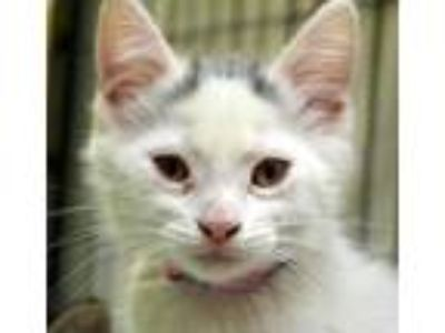 Adopt Janet a White Manx / Domestic Shorthair / Mixed (short coat) cat in
