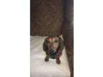 Adopt Storm a Red/Golden/Orange/Chestnut - with Black Dachshund / Mixed dog in