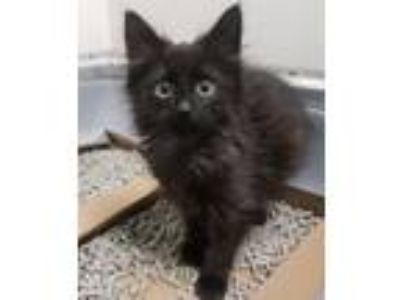 Adopt Clarissa a Domestic Short Hair