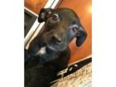 Adopt Raz a Black - with White Labrador Retriever / Border Collie / Mixed dog in