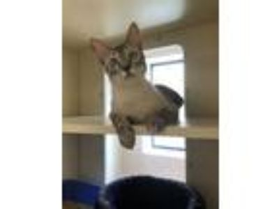 Adopt Finn Cat a Brown or Chocolate Siamese / Domestic Shorthair / Mixed cat in