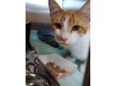 Adopt Mr. Garbanzo Bean a Orange or Red (Mostly) Domestic Shorthair / Mixed cat