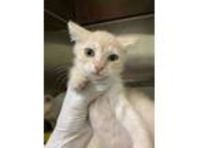 Adopt Ms. Peaches Face a Orange or Red Domestic Shorthair / Domestic Shorthair /