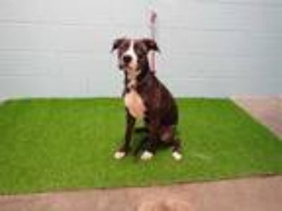 Adopt EMILY a Brindle - with White American Pit Bull Terrier / Mixed dog in St.