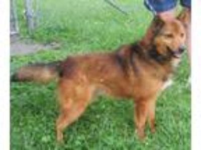 Adopt Foxx a Red/Golden/Orange/Chestnut Shepherd (Unknown Type) / Mixed dog in