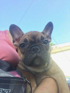French Bulldog PUPPY FOR SALE ADN-92191 - Kylie