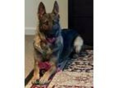 Adopt Addi a Black - with Tan, Yellow or Fawn German Shepherd Dog / Mixed dog in