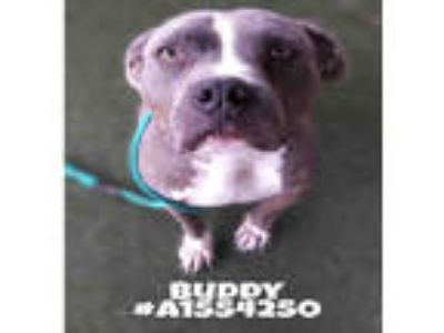 Adopt BUDDY a Brindle - with White Mixed Breed (Medium) / American Pit Bull