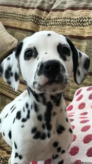 Gorgeous Dalmation Puppies