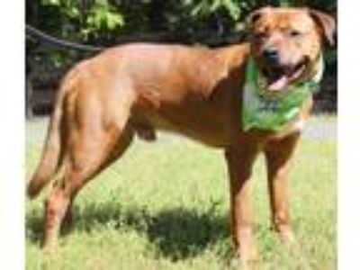 Adopt Joey a Tan/Yellow/Fawn - with White Boxer / Hound (Unknown Type) / Mixed