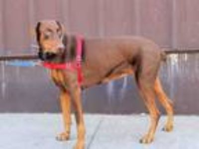Adopt RUBY a Doberman Pinscher