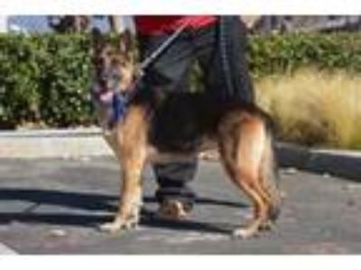 Adopt Miata a German Shepherd Dog