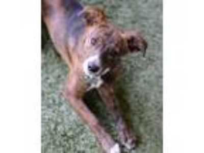 Adopt Fletcher a Whippet / Terrier (Unknown Type, Medium) / Mixed dog in Novato