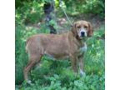 Adopt Hazel a Brown/Chocolate Hound (Unknown Type) / Australian Shepherd dog in