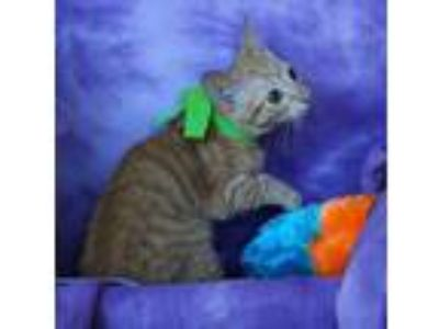 Adopt Freida a Tabby, Domestic Short Hair