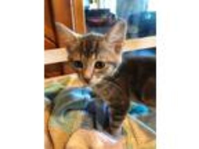 Adopt Lindor a Gray, Blue or Silver Tabby Domestic Shorthair (short coat) cat in