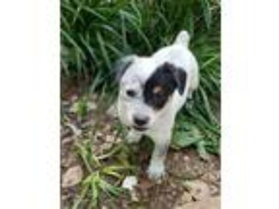 Adopt Toby a White - with Black Blue Heeler dog in Kennesaw, GA (25465696)