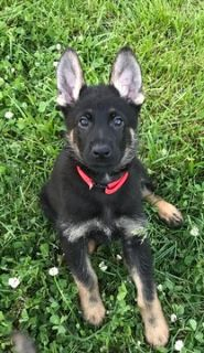German Shepherd Dog PUPPY FOR SALE ADN-76406 - German Shepherd Pups