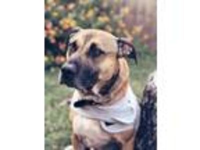 Adopt Thor a American Staffordshire Terrier
