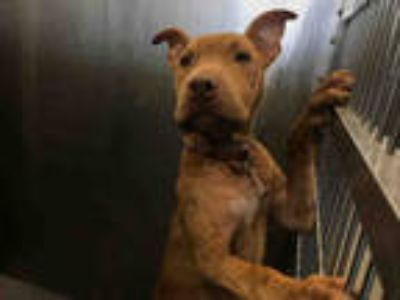 Adopt ALFIE a Brown/Chocolate American Pit Bull Terrier / Mixed dog in Dallas