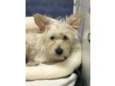 Adopt Linda a White Westie, West Highland White Terrier / Mixed dog in