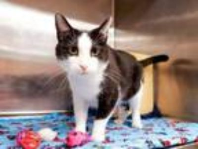 Adopt Clyde a All Black Domestic Shorthair / Domestic Shorthair / Mixed cat in