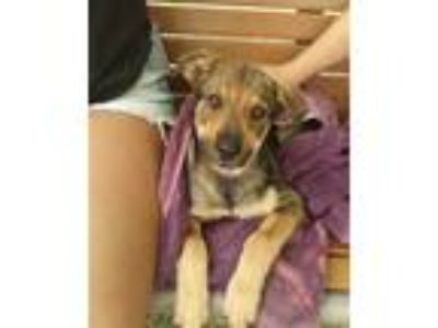 Adopt a Tan/Yellow/Fawn - with Black German Shepherd Dog / Mixed dog in Austin